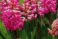 hyacinth roze