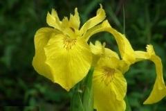 Iris-pseudacorus (gele lis)