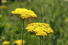 achillea-filipendulina-cloth-of-gold