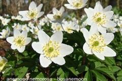 anemone-nemorosa