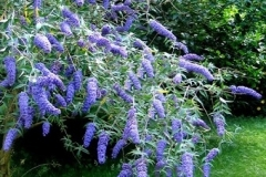 buddleia-davidii-blue