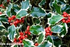 ilex-aquifolium- (hulst-bontblad)