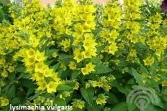 lysimachia-vulgaris (wederik)