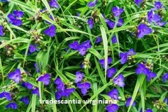 tradescantia-viginiana (mozes-in-het-biezen-mandje)