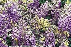 wisteria-sinensis-blauwe-regen